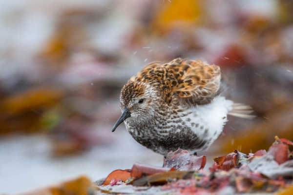 Dunlin shaking its wings