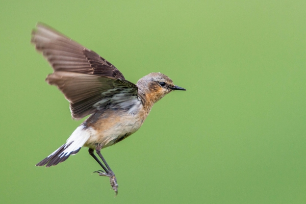Flying Northern Wheatear