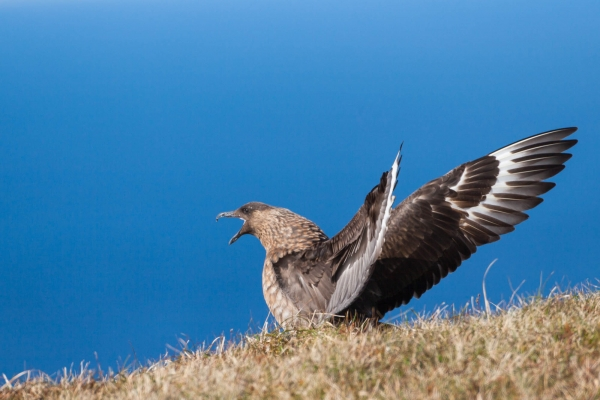 Great Skua opening wings