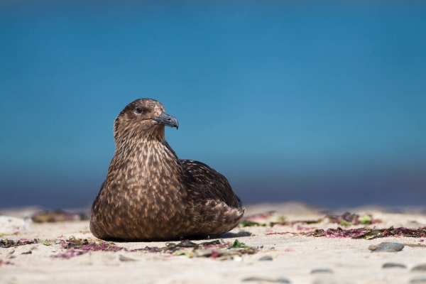 Great Skua resting on a beach