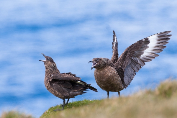 Great Skuas with opened wings
