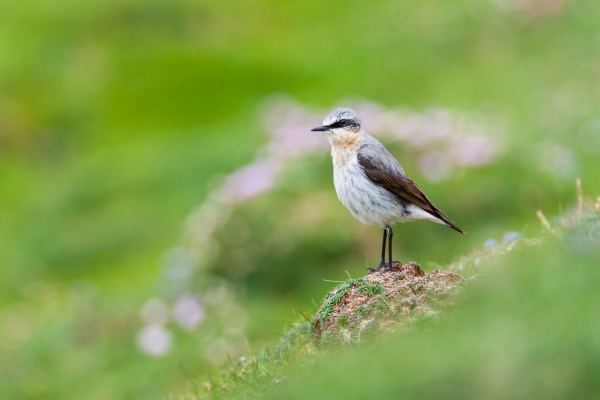 Male Northern Wheatear