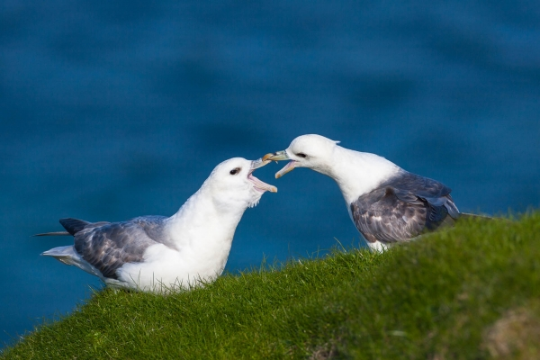 Northern Fulmars Couple