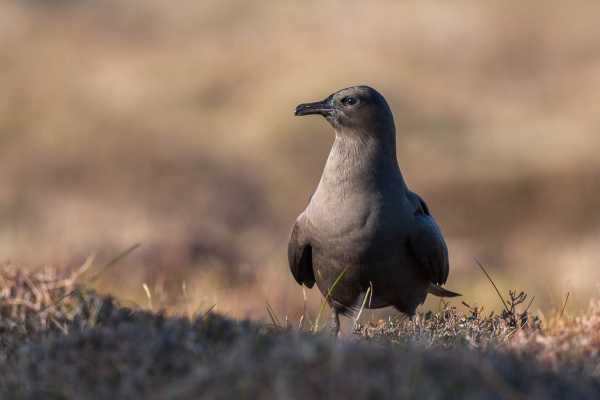 Parasitic Jaeger Portait