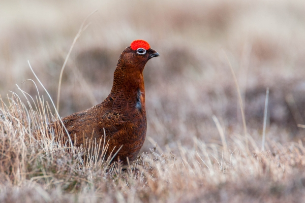 Red grouse in moorland heather
