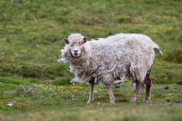 Shetland Sheep in the wind