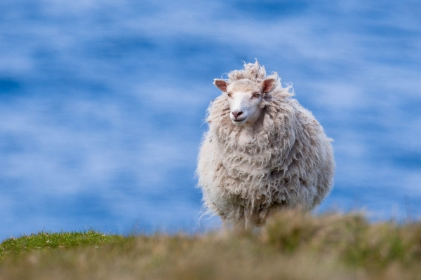 Shetland Sheep on the sea coast