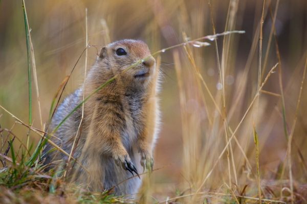 Arctic Ground Squirrel after a rain shower