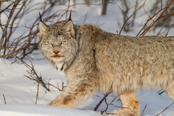 Canadian Lynx in the Ogilvie Mountains