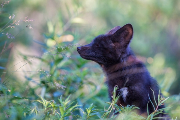 Cross Fox kit sniffing plants after a rain shower