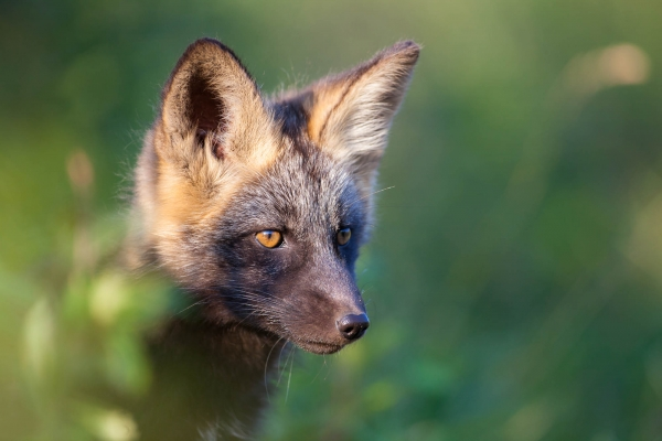 Cross Fox kit portrait