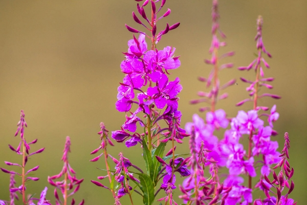 Blooming Fireweed in Summer