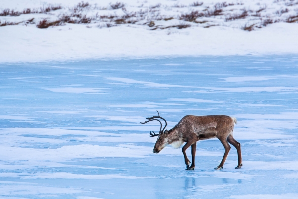 A Caribou from the Fortymile Herd crossing a frozen lake