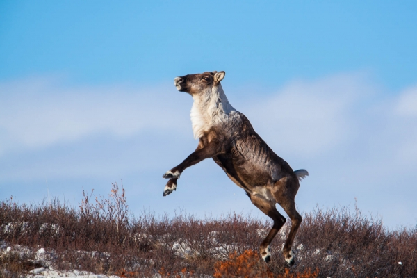 Caribou performing an excitation jump as a particular alarm stance