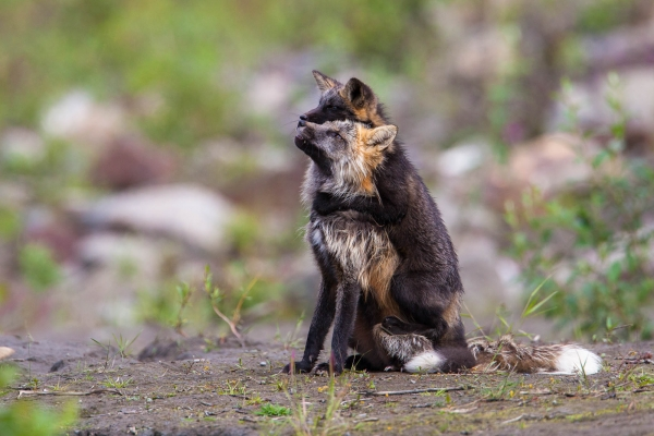 Cross fox kit playing with its parent