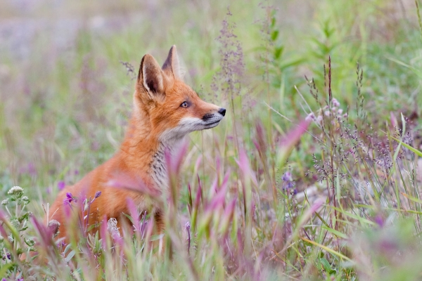 Red Fox kit standing in grasses