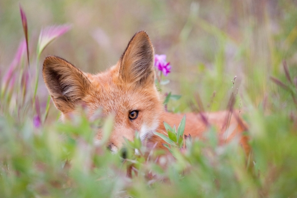 Red fox resting in flowers