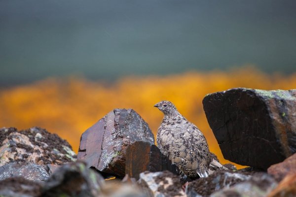 White-tailed Ptarmigan after a rain shower