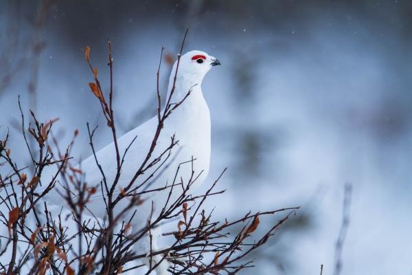 Willow Ptarmigan perched on top of a willow tree