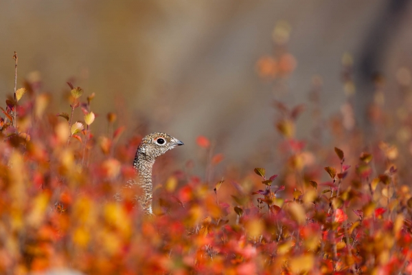 Willow Ptarmigan in Fall Colors
