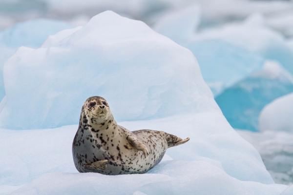 Harbor seal on iceberg by South Sawyer Glacier