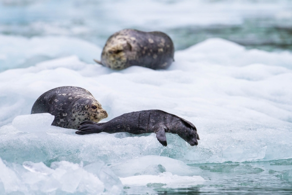 Harbor seal mother and pup