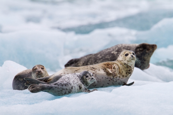 Harbor seals on an iceberg