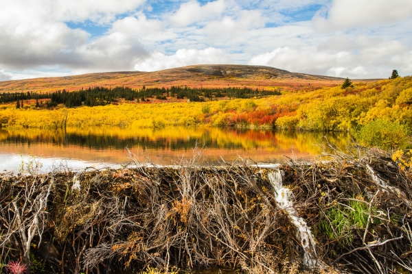 A beaver dam in Fall colors (Yukon, Canada)