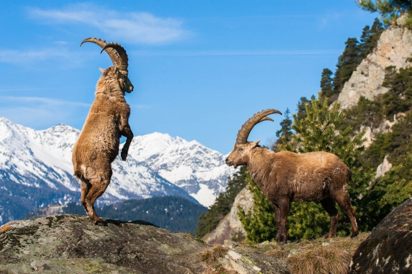 Alpine Ibex bucks fighting playfully in Vanoise National Park (Alps, France)