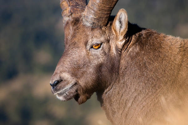 Alpine Ibex Portrait (Alps, France)