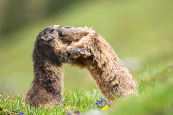Alpine Marmot fighting playfully in Vanoise National Park (Alps, France)