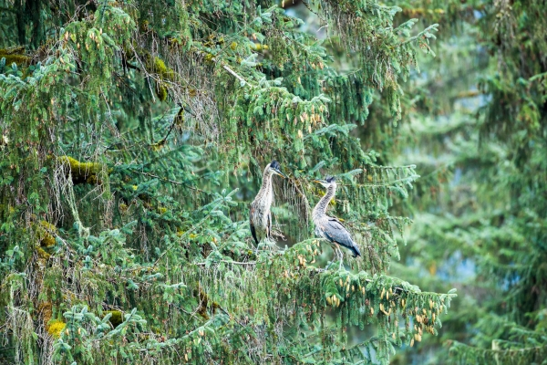 Great Blue Herons perched in a tree (Alaska, USA)