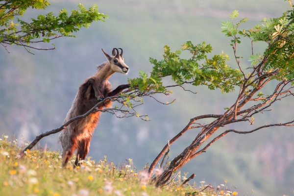 Chamois feeding on a tree (Vosges Mountains, France)