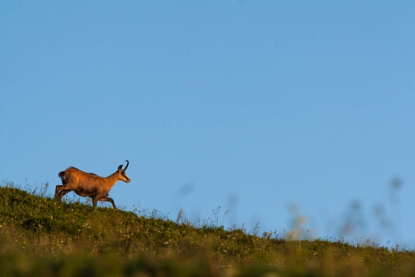 Chamois on a mountain pasture (Vosges Mountains, France)