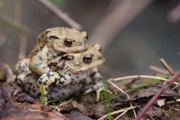 Common Toads mating (France)