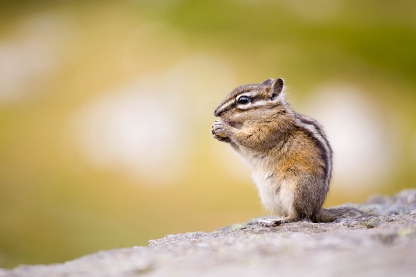 Eastern Chipmunk (British Columbia, Canada)