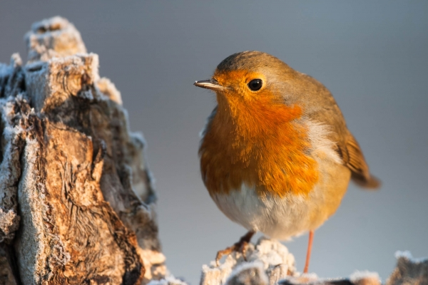 European Robin (France)