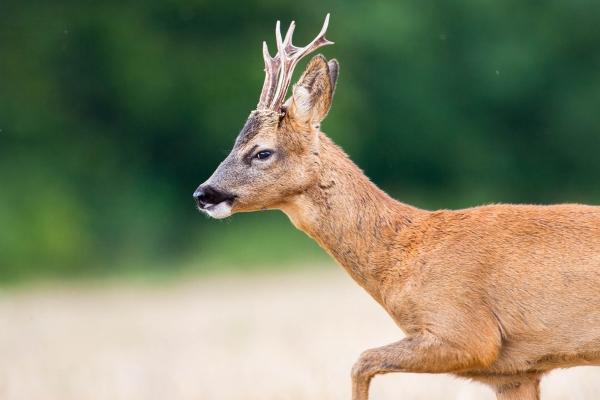 European Roe Deer Buck (France)