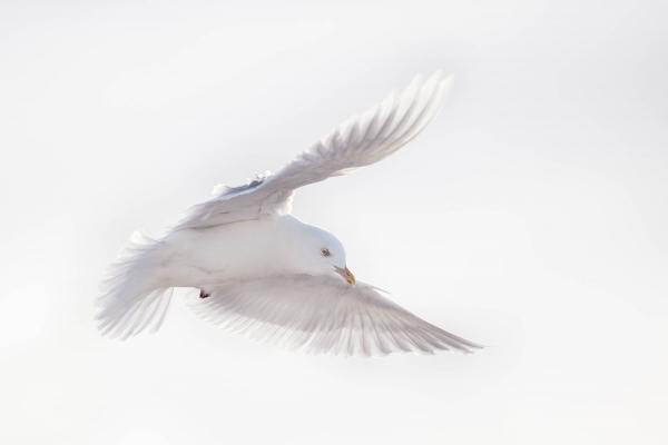 Flying Seagull (Quebec, Canada)