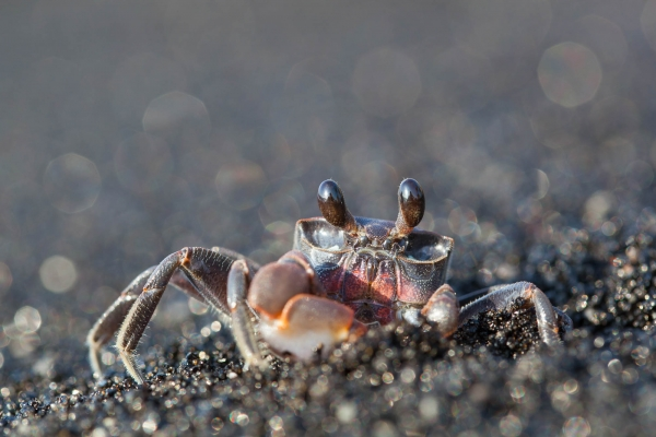 Ghost Crab (Hawaii, USA)