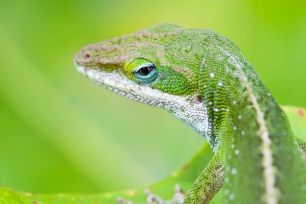 Green Anole Lizard (Hawaii, USA)