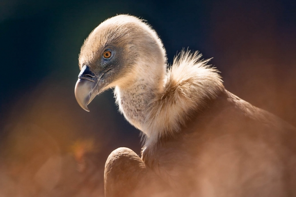Griffon Vulture Portrait (Baronnies, France)