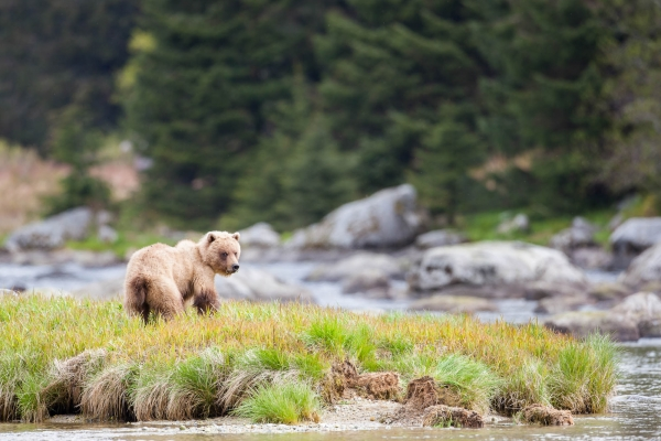 Grizzly Bear along the Chilkoot River (Alaska, USA)