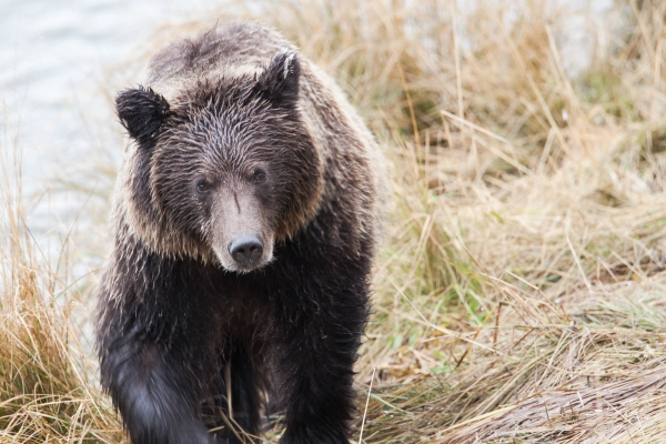 Grizzly Bear (Alaska,  USA)