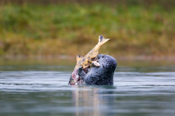 Harbor Seal feasting on Chum Salmon (Alaska, USA)