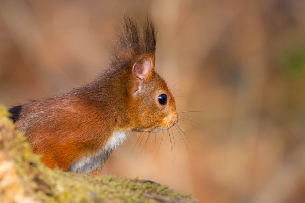 Red Squirrel (France)