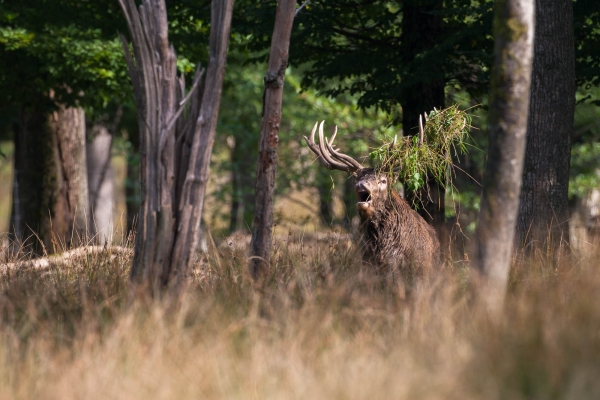 Roaring Red Deer stag (France)