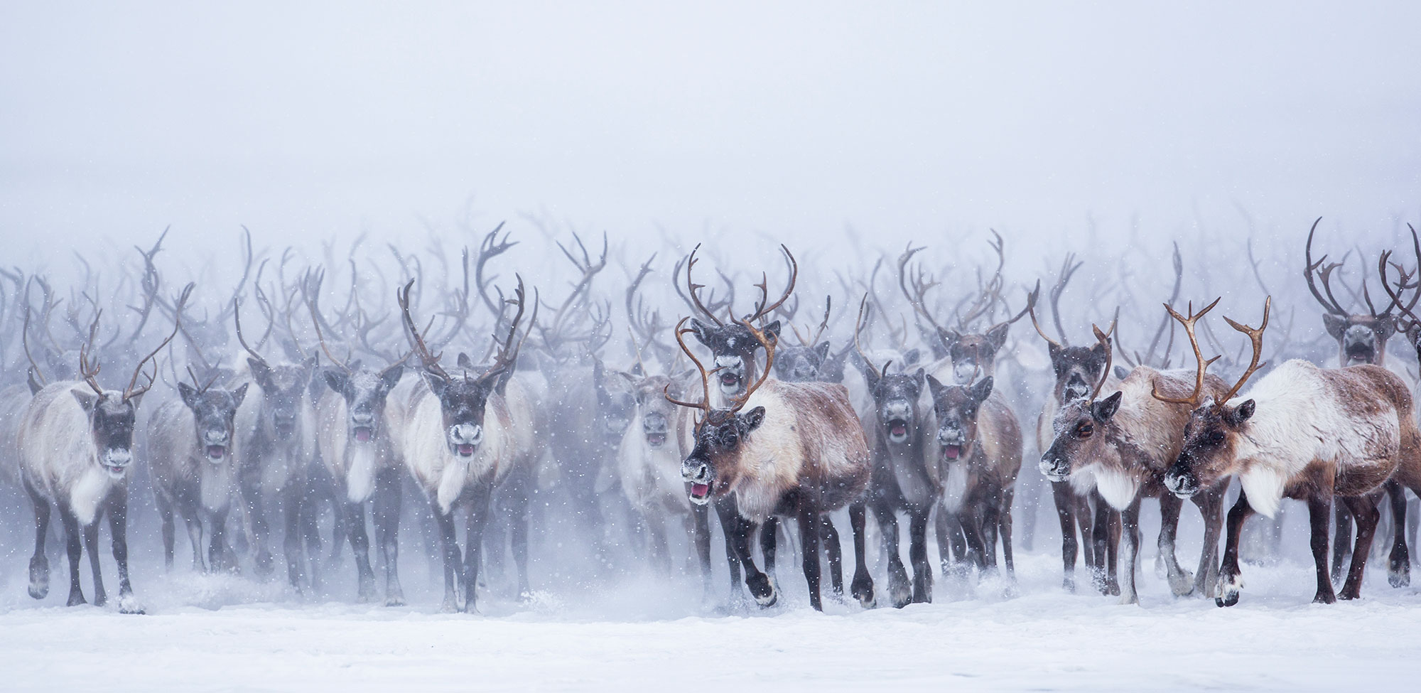 Being Part Of The Herd Nicolas Dory Photography