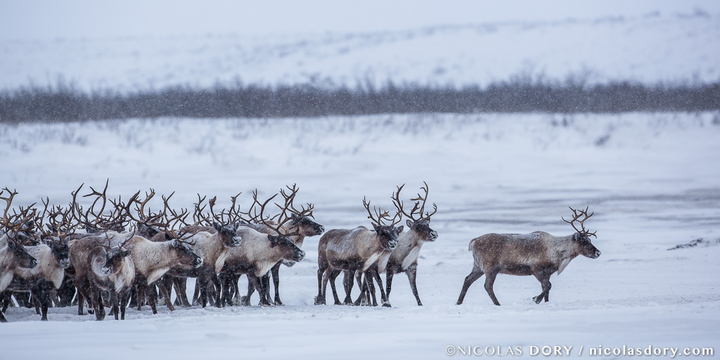 Being Part of the Herd - Nicolas Dory Photography