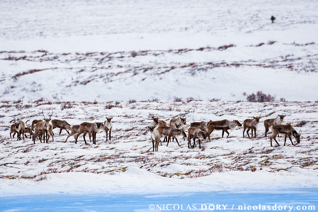 Forty Mile Caribou Herd grazing in the Tombstone Territorial Park